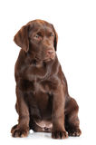 Chocolate labrador retriever puppy Royalty Free Stock Image