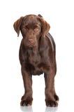 Chocolate labrador retriever puppy Stock Photography