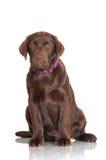 Chocolate labrador retriever puppy Royalty Free Stock Images