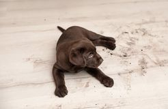 Chocolate Labrador Retriever puppy and dirty paw prints. On floor indoors royalty free stock photos