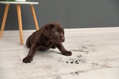 Chocolate Labrador Retriever puppy and dirty paw prints. On floor indoors royalty free stock photo