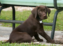 Chocolate Labrador Retriever puppy on the grass. Puppy intently looking at something that has caught his attention Royalty Free Stock Photo