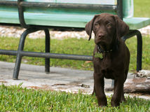 Chocolate Labrador Retriever puppy on the grass. Puppy intently looking at something that has caught his attention Stock Image