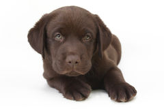 Chocolate labrador retriever puppy with green eyes Royalty Free Stock Photos