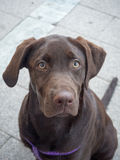 Chocolate labrador retriever puppy. Labrador retriever puppy, with his sights set on his owner Royalty Free Stock Photo