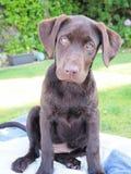 Chocolate labrador retriever puppy. Labrador retriever puppy, with his sights set on his owner Stock Photos