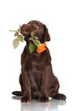 Chocolate labrador retriever puppy holding a rose flower Stock Photography