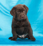Chocolate labrador retriever puppy Royalty Free Stock Images