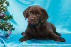 Chocolate labrador retriever puppy Royalty Free Stock Image