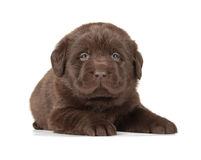 Chocolate Labrador Retriever Puppy. (4 week old, isolated on white background royalty free stock photo