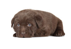 Chocolate Labrador Retriever Puppy. (4 week old, isolated on white background royalty free stock image
