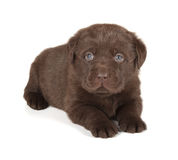 Chocolate Labrador Retriever Puppy. (4 week old, isolated on white background stock images