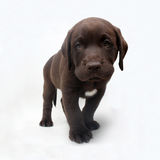 Chocolate labrador retriever puppy with white spot Stock Photography