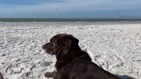 Chocolate labrador retriever que coloca na praia e que observa as vistas e os sons do Golfo do México video estoque
