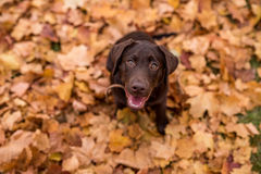 Chocolate labrador retriever que senta-se no parque Autumn Leaves Fotografia de Stock Royalty Free