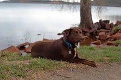Chocolate Labrador Retriever Resting royalty free stock photos