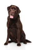 Chocolate Labrador retriever sitting Royalty Free Stock Photos
