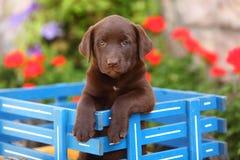 Chocolate Labrador Retriever Sitting in Wagon Royalty Free Stock Photo