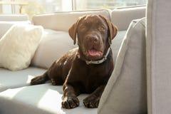 Chocolate labrador retriever on sofa royalty free stock photos