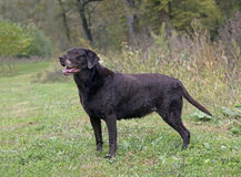 Chocolate Labrador Retriever Royalty Free Stock Photography