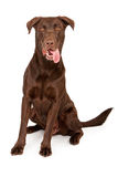 Chocolate Labrador Retriever With Tongue Out Royalty Free Stock Images