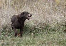 Chocolate Labrador Retriever Royalty Free Stock Image