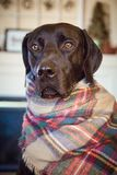 Chocolate labrador retriever wrapped up royalty free stock photos