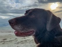 Chocolate Labrador Retrivrer at beach with sunbeams across his f stock images