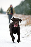 Chocolate Labrador Running in Snow Stock Photos