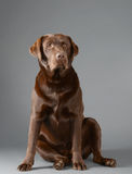 Chocolate Labrador sitting Stock Photo