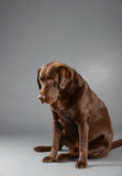 Chocolate Labrador sitting and looking sad. Stock Photography