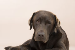 Chocolate Labrador sitting and looking sad. Royalty Free Stock Photography