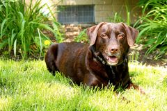 Chocolate Labrador smiling while watching photographer with gorgeous eyes while laying downd Stock Photography