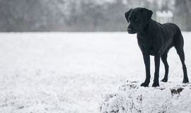 Chocolate labrador in the snow Stock Photography