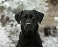 Chocolate labrador in the snow Stock Photo