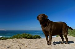 Chocolate labrador Standing at attention on Shelly Beach on the new south wales central coast Australia stock image