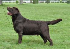 Chocolate Labrador standing Stock Photo