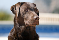 Chocolate Labrador in Sunny Location Stock Images
