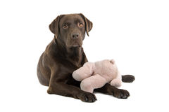 Chocolate Labrador with toy Royalty Free Stock Photo