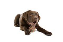 Chocolate Labrador and toy Royalty Free Stock Images