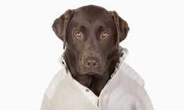 Chocolate Labrador in Trendy Cream Jumper against a Whi Stock Images