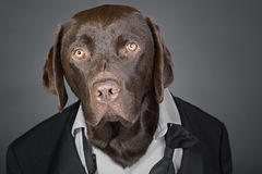 Chocolate Labrador in Tuxedo against a Grey Background Royalty Free Stock Image