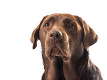 Chocolate labrador. On white background stock images