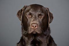 Free Chocolate Labrador With His Eyes Shut Royalty Free Stock Photo - 8787225