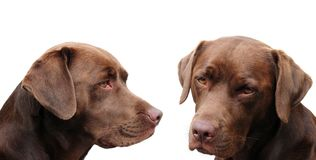 Chocolate labradors Stock Image