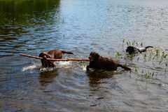 Chocolate labs playing in lake Royalty Free Stock Photos