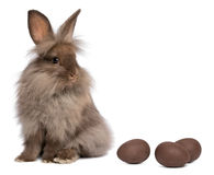 A chocolate lionhead bunny with chocolate eggs. A sitting chocolate colored mini lionhead bunny rabbit with chocolate eggs, isolated on white background Royalty Free Stock Photo