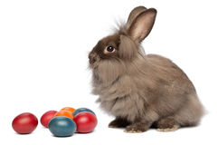 A chocolate lionhead bunny rabbit with easter eggs. A sitting chocolate colored mini lionhead bunny rabbit with easter eggs, isolated on white background royalty free stock image