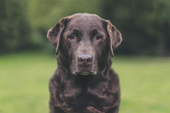 Chocolate mayor Labrador en jardín Fotos de archivo libres de regalías