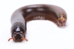 Chocolate millipede (Pelmatojulus ligulatus) Royalty Free Stock Photo